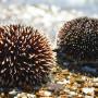 Sea Urchins Samos
